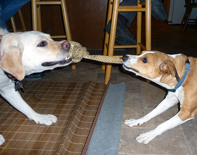 Canine tug of war