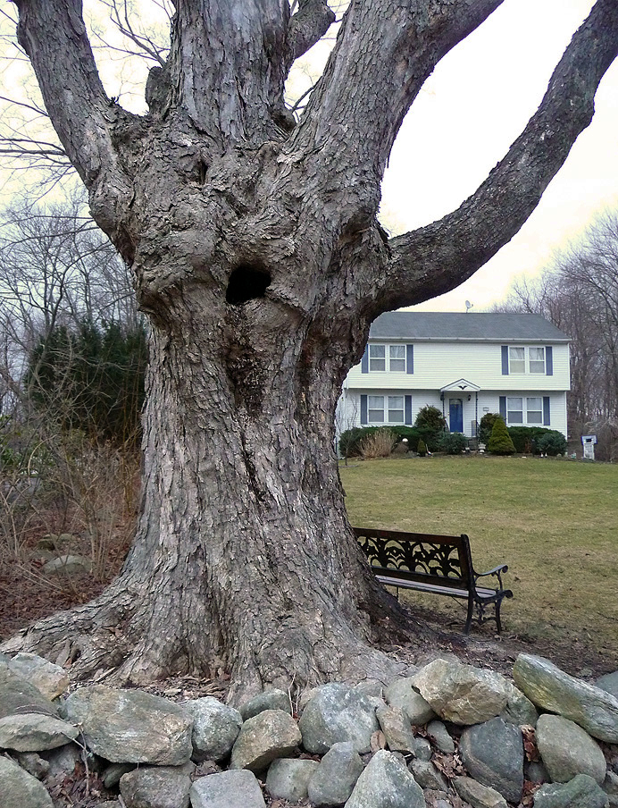 Old sugar maple tree
