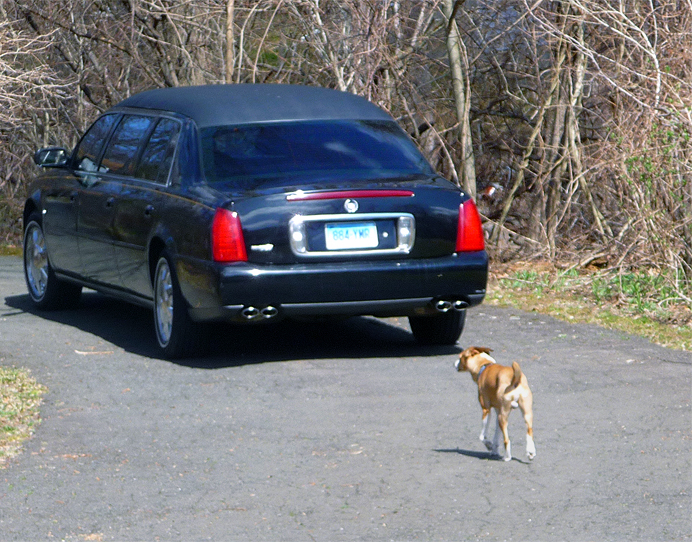 Dog chasing limousine