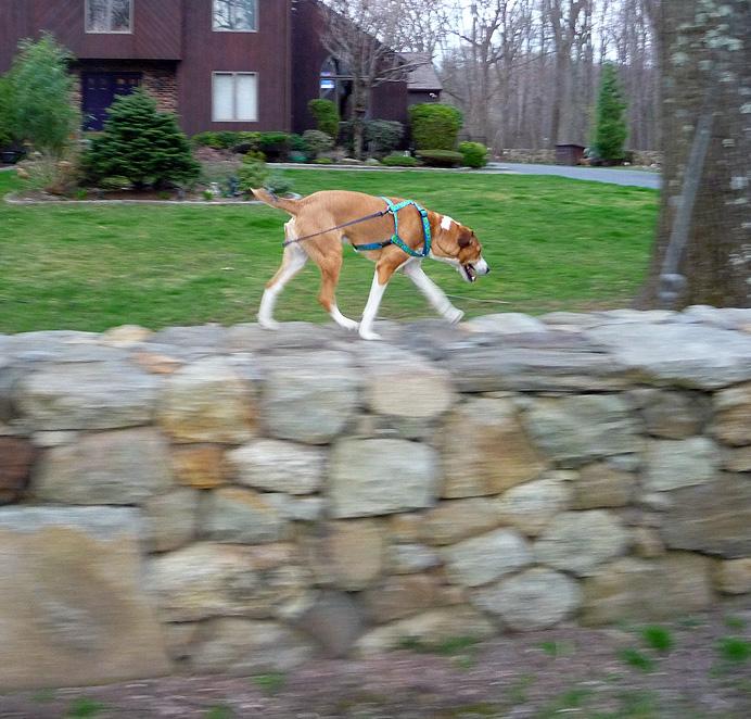 Dog walking on stone wall