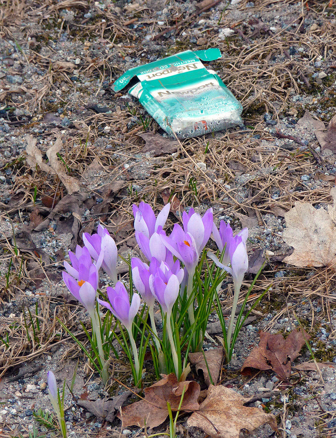 Crocus with Newport cigarette box
