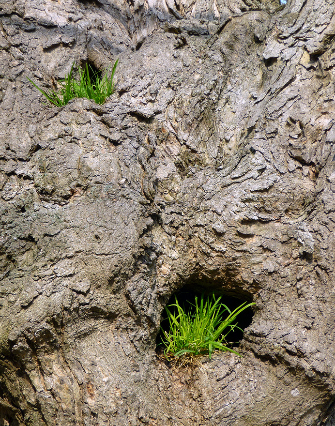 Grass growing in a maple tree trunk