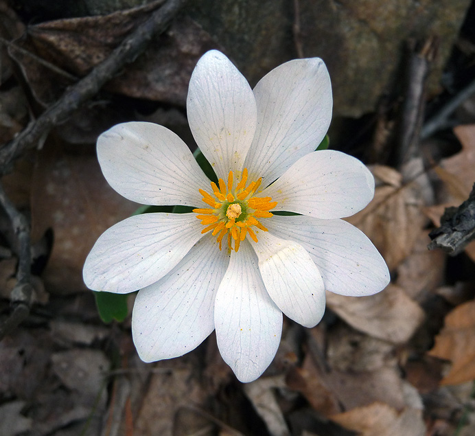 Bloodroot blossom