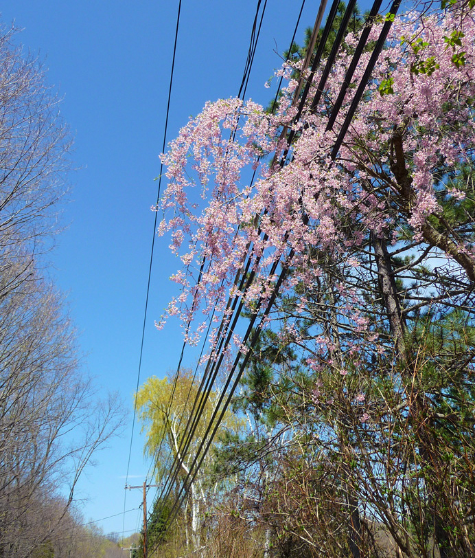 Wisteria in utility wires