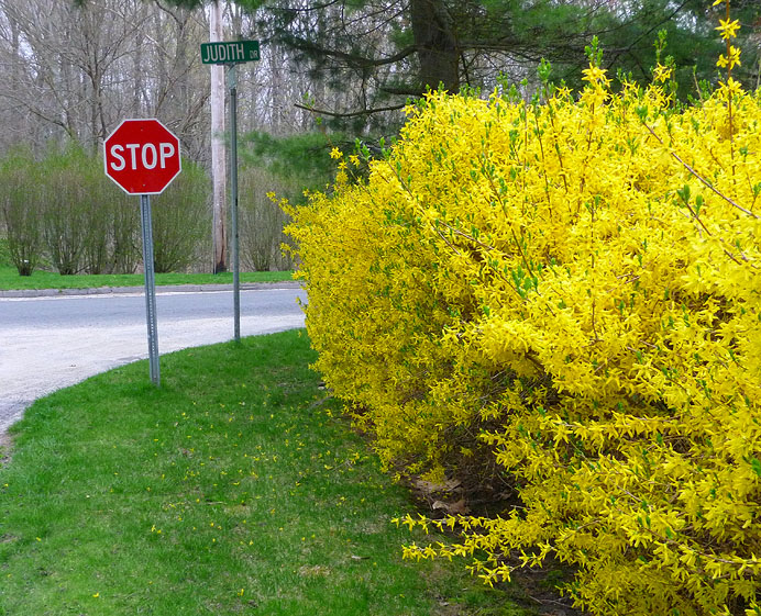 Statueopsign and forsythia