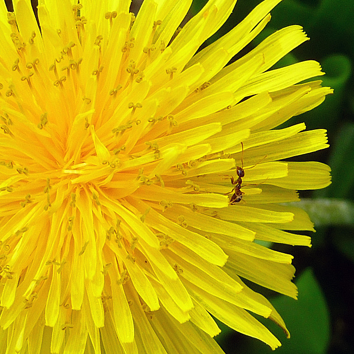 Ant on a dandelion