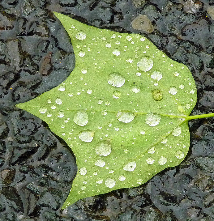 Wet tuliptree leaf