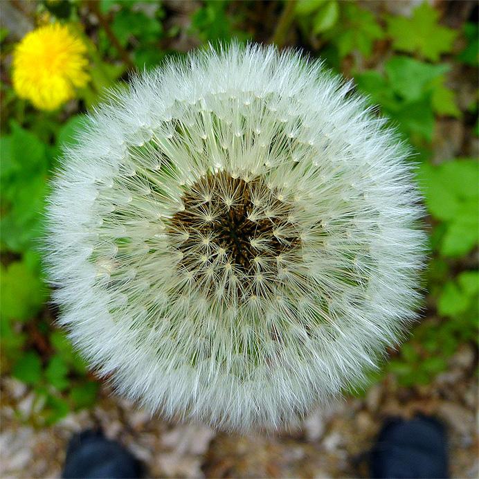 Dandelion poll