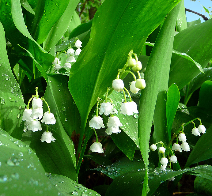 Wet Lily of the Valley