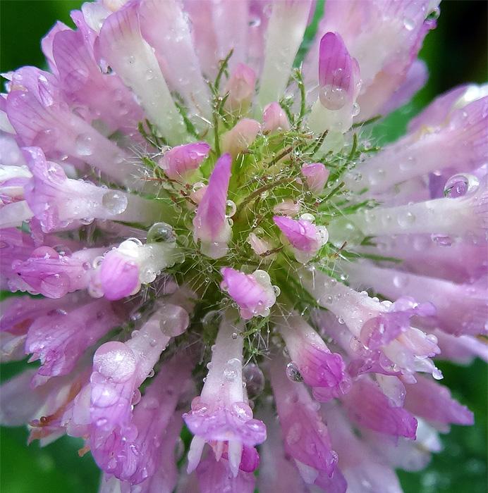 Wet clover blossom
