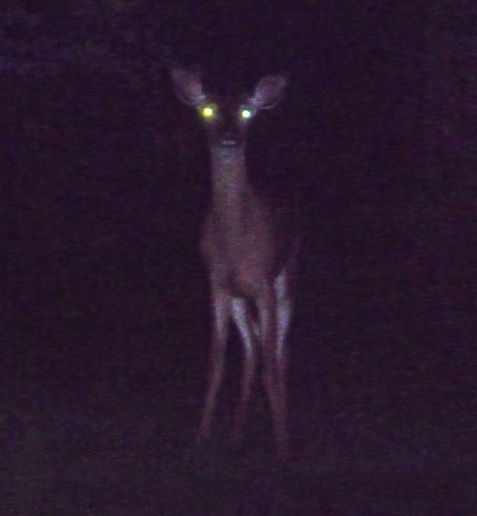 Deer in flashlight