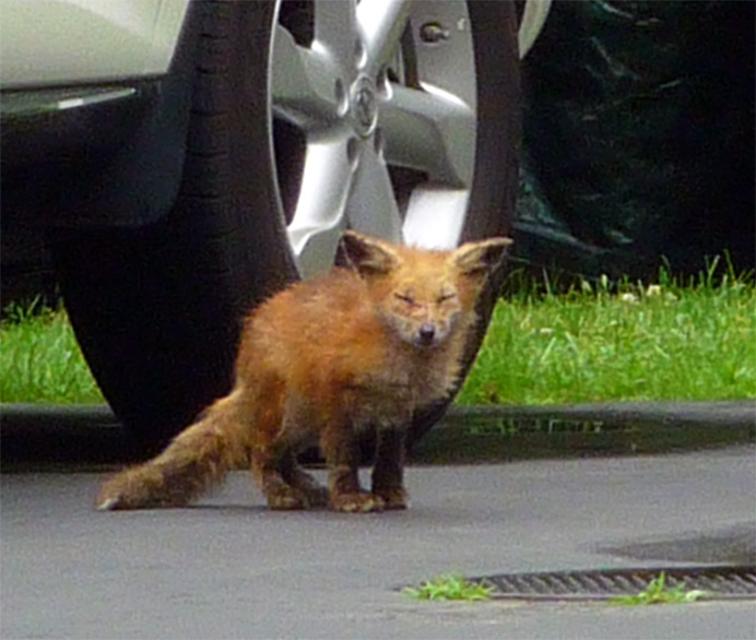 Red fox in driveway