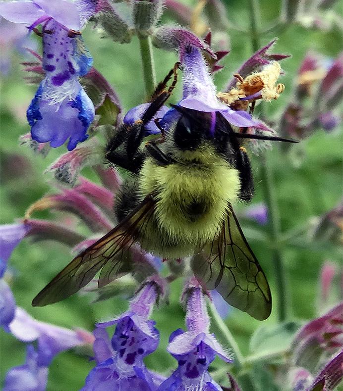 Bumblebee on mint
