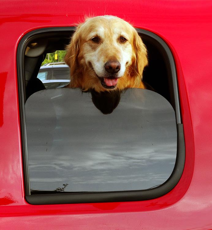 Dog in pickup truck