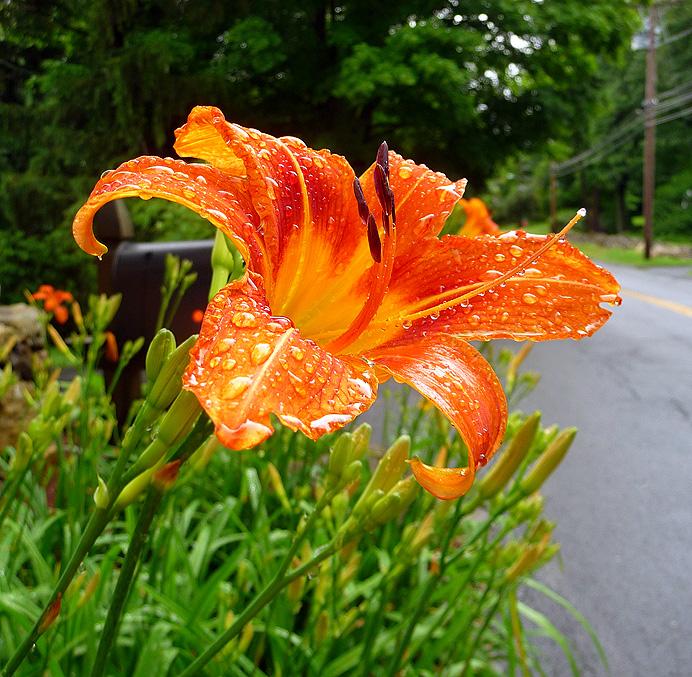Wet daylily