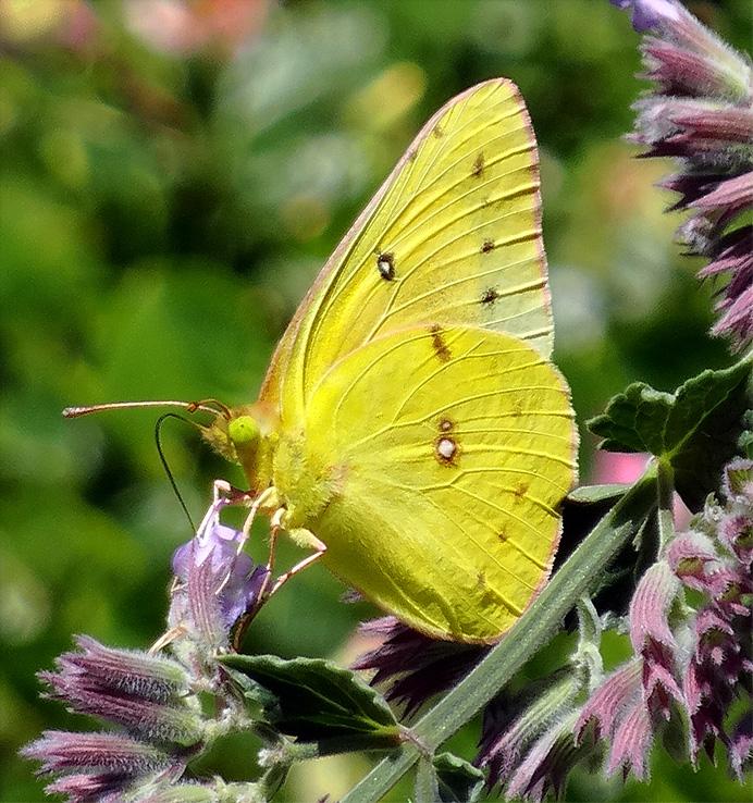 Sulphur butterfly (Phoebis sennae, female)