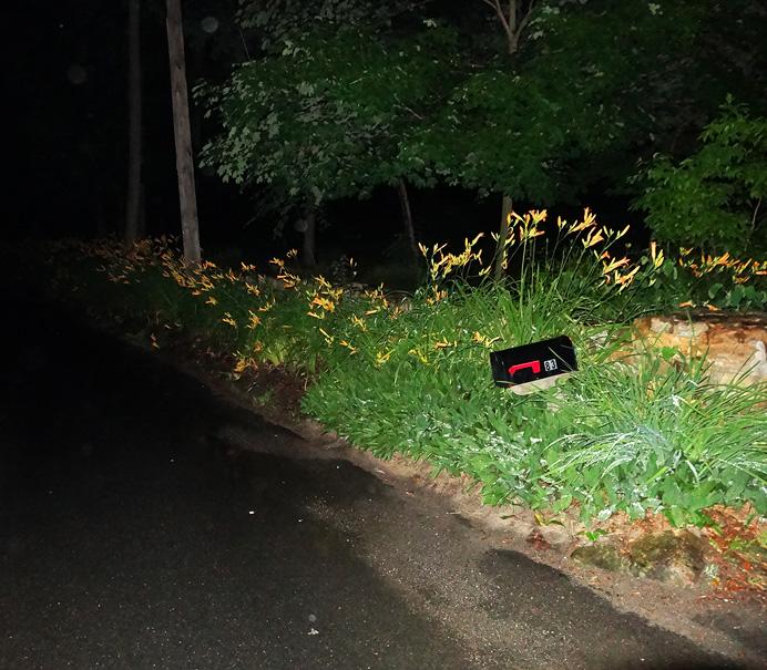 Daylilies at night