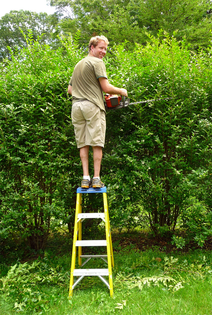 Man on stepladder, trimming hedge