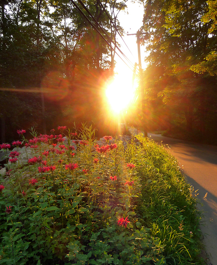 Beebalm at sunset