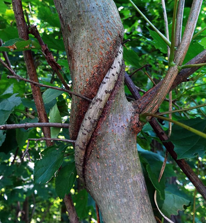 Bittersweet strangling a tree