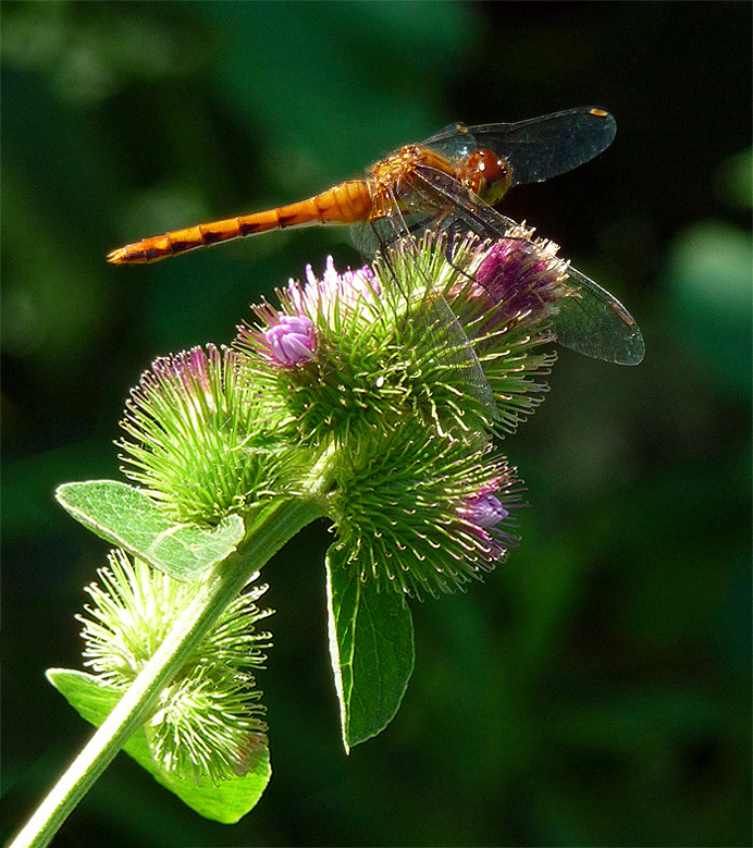 Dragonfly on burdock