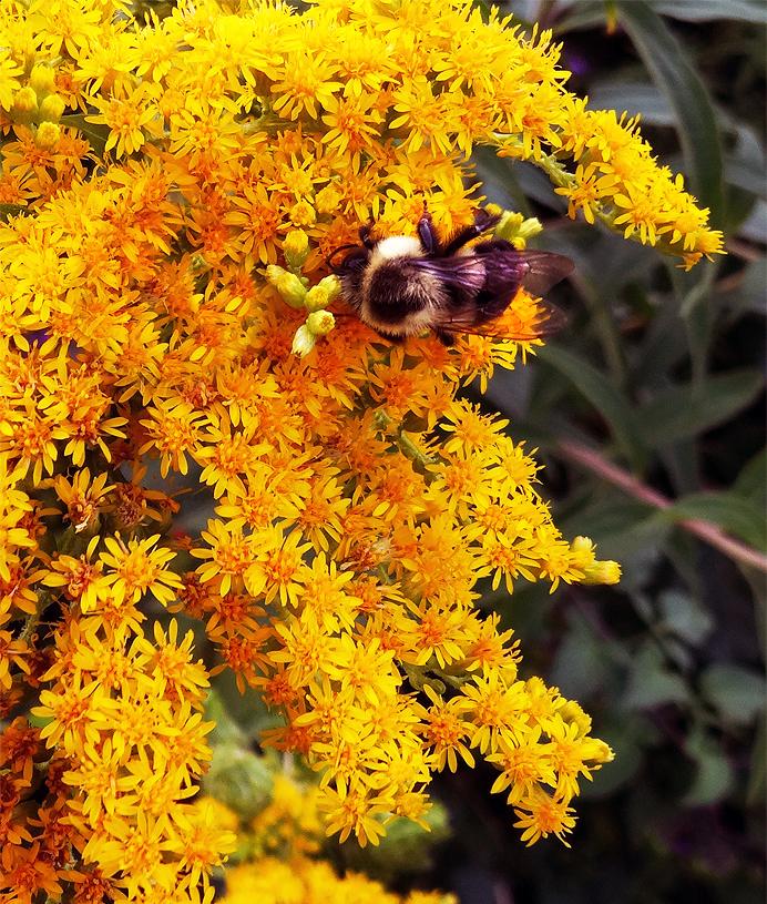Bumblebee feeding on goldenrod