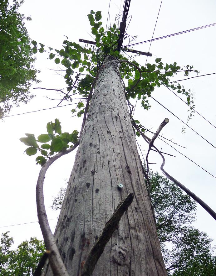 Bittersweet climbing utility pole