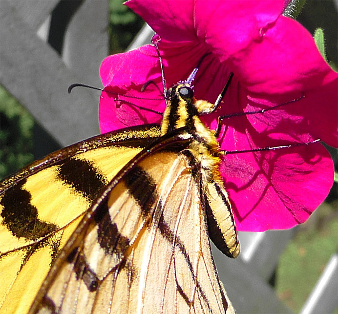 Butterfly on petunia