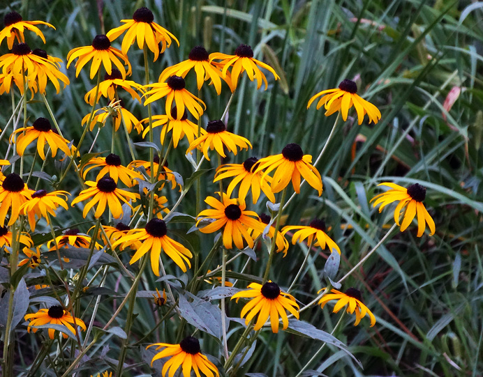 Black-eye Susans