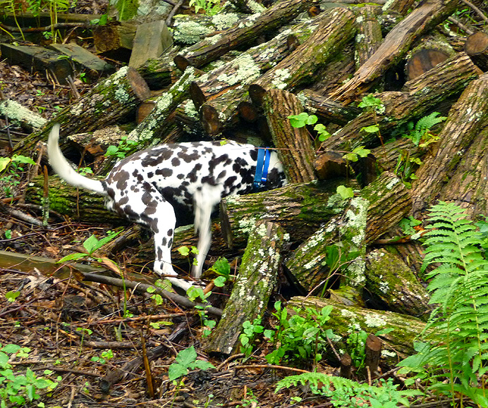 Dalmation investigating a woodpile
