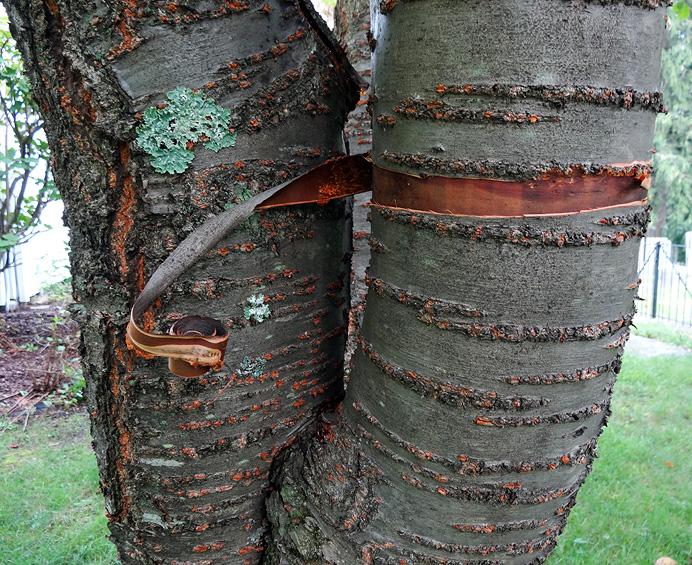 Cherry tree damage