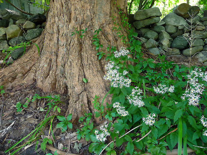 Wood asters and sugar maple