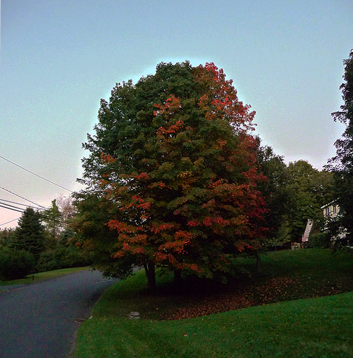 Maple tree with leaves changing