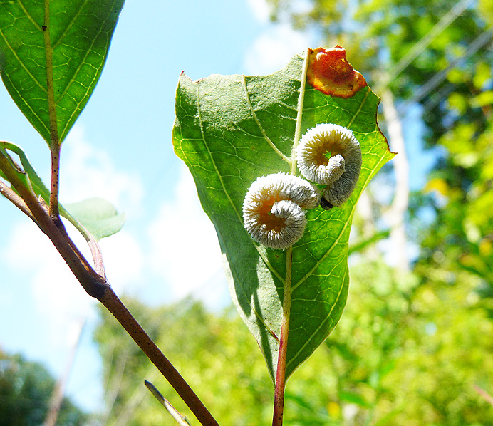 White caterpillars eating a leaf