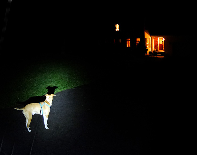 Dog by flashlight