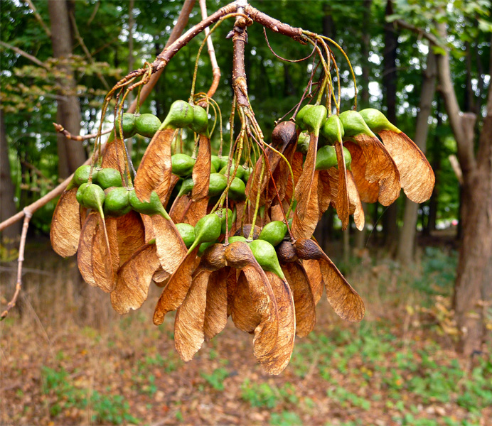 Maple seed cluster