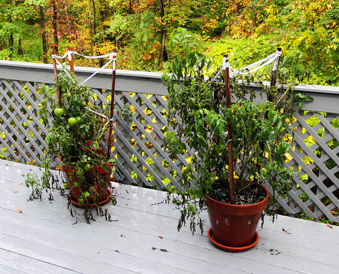 Dying tomato plants