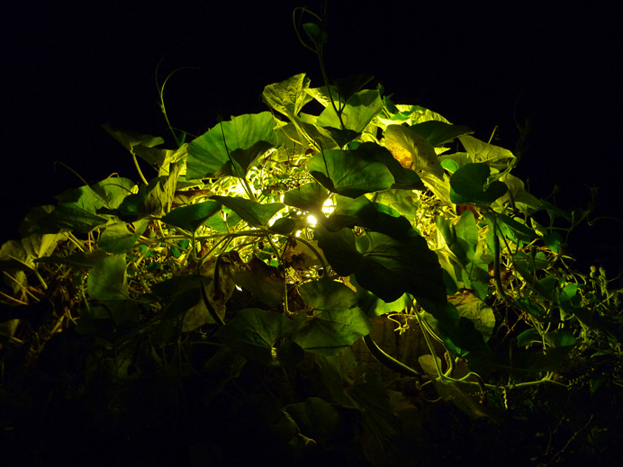 Vine by lamplight