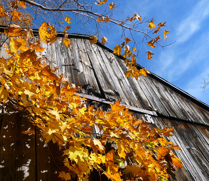 Barn side with maple leaves