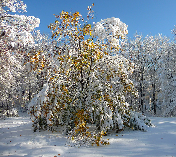 Snow-laden sugar maple
