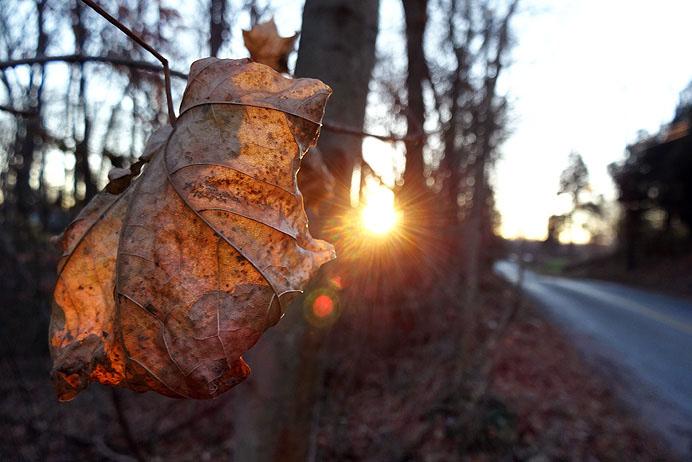 Shriveled maple leaf backlit by sun