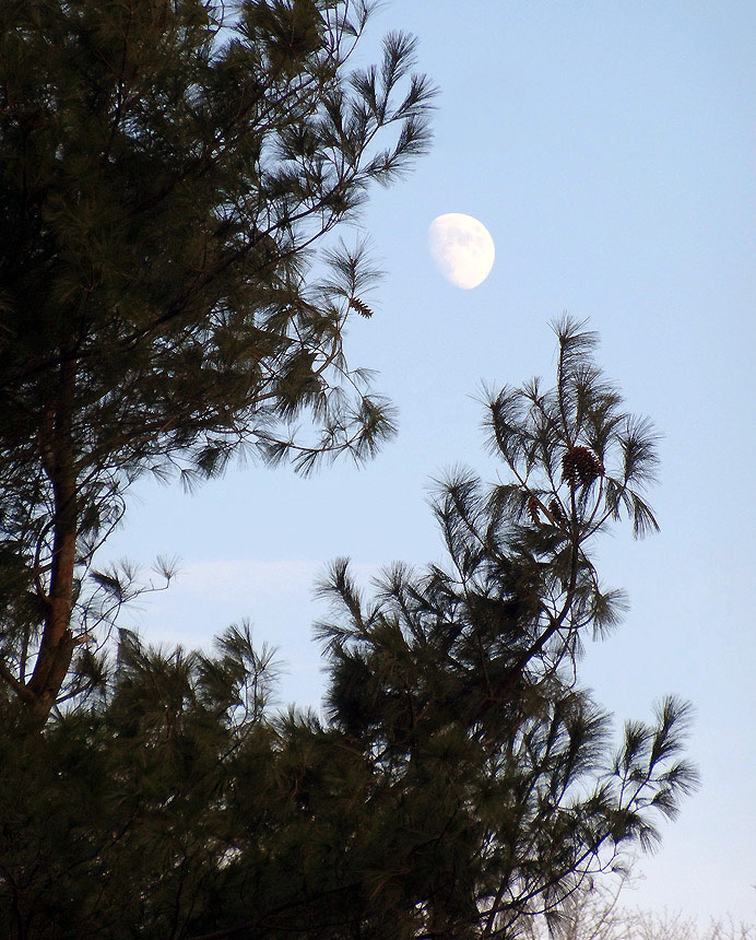Moon behind white pine