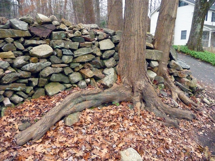Trees integrated into stone fence