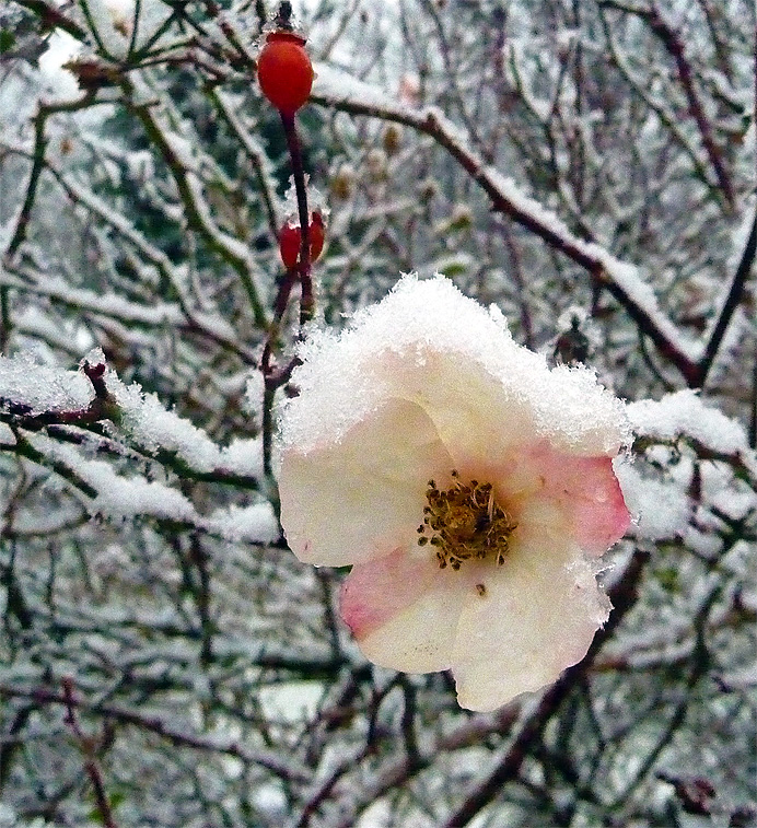 Snow on a rose