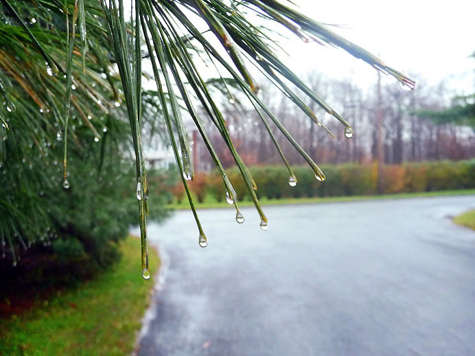 Dripping pine needles