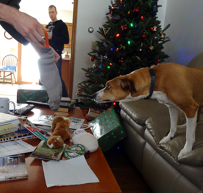 Dog getting toy for Christmas